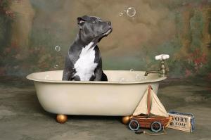 pitbull_bath