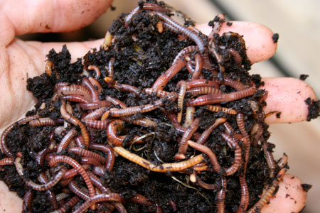Worms-Red-Wigglers-Composting