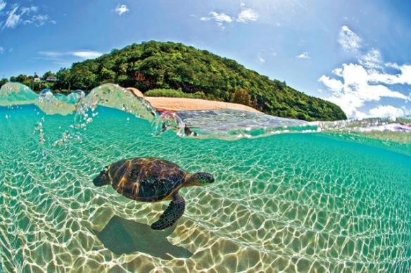 Hawaii-Sea-Turtle-Swimming