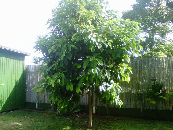 Avocado-Tree